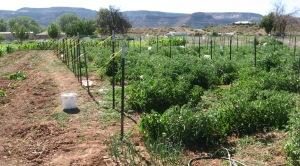 Tomato Patch, Kanab 7-14-2016 A rev