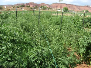 Tying up tomato vines 7-30-2016 B
