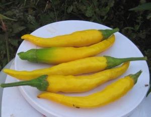 pepper-macska-sarga-0-015-dt-2016-d-rev