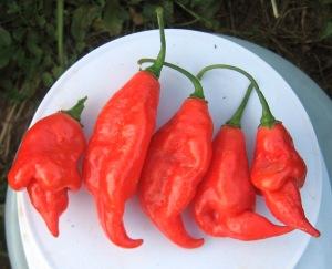 pepper-maya-f2-0-016-dt-2016-f-rev