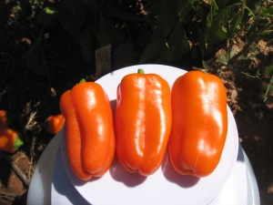 pepper-sweet-crunch-orange-0-065-dt-2016-f