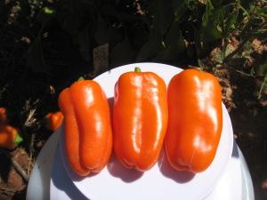 pepper-sweet-crunch-orange-0-065-dt-2016-f