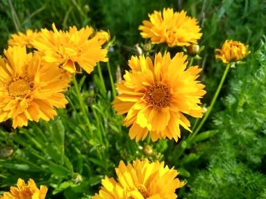 Flower, Calendula_20190611_092351702_HDR