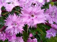 Flower, Dianthus_20190524_191431042_HDR