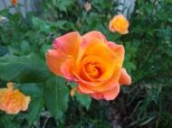 Flower, rose_20190606_072103674