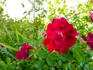 Flower, rose_20190609_182321072_HDR