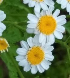 Herb, Feverfew_20190616_162154160 (2)