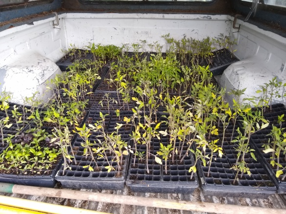 Tomato seedlings leftovers plug trays_20190606_162015547